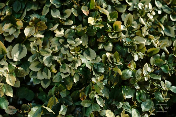 green shrubbery   ian.photos