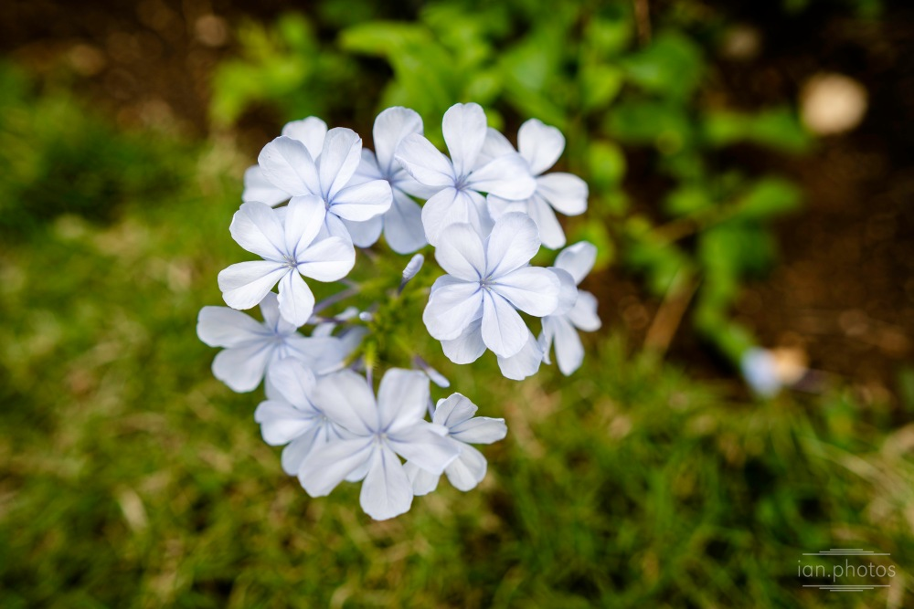 pale blue flower blooms on a green background | ian.photos