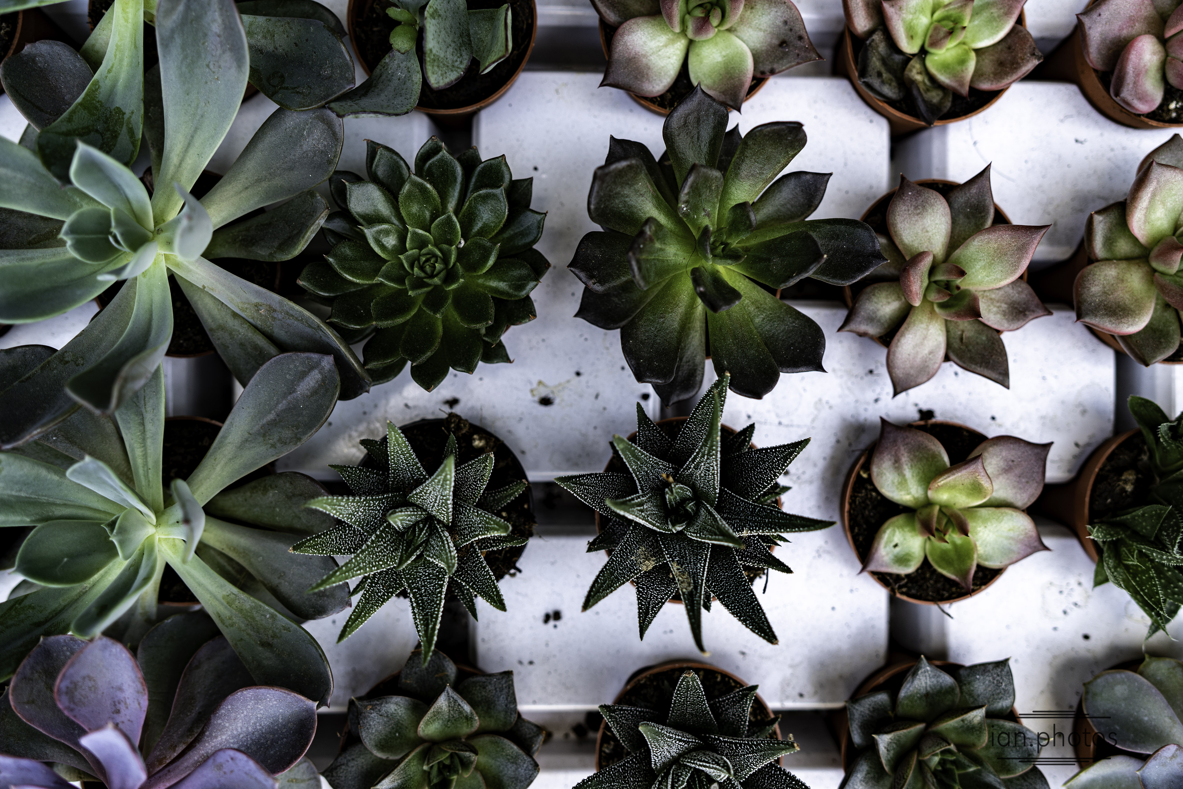rows of succulents in a planting tray | ian.photos