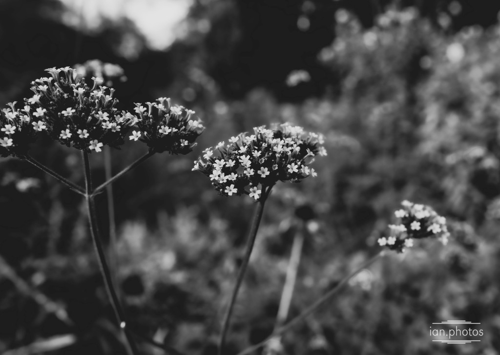 Tiny flower blooms in black and white with a defocused background.