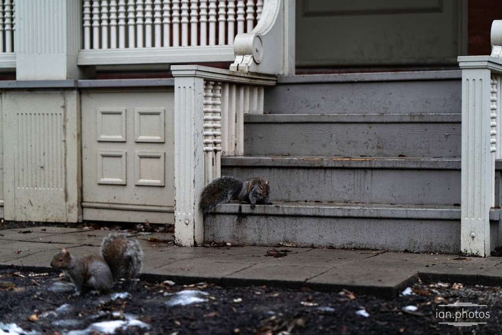 a pair of small rodents, one on a wooden step, on a melty winter day.